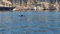 BODRUM KALESI - Bodrum Limanı'nda Akdeniz Foku Görüntülendi