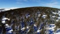 YABAN DOMUZU - Sarıçam Ormanlarının Havadan Görüntüleri Büyüledi
