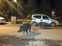 YABAN DOMUZLARI - Tunceli'de Yaban Domuzları, Şehre İnmeyi Alışkanlık Haline Getirdi