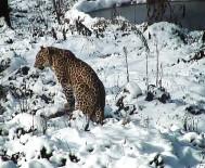 KAFKASYA - Putin'in Leoparı Doğaya Salındı