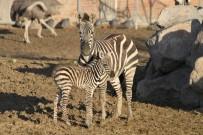 DEVE KUŞU - Yeni Doğan Zebra Yavrusu Parkın Neşesi Oldu