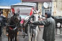 KARANTINA - Adalardaki Atlarda Ruam Salgını Şüphesi