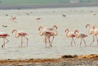 GÖÇMEN KUŞLAR - Flamingolar Bodrum'a Akın Etti