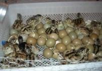 KıŞLAK - Şuhut Keklik Üretme İstasyonu'nda 10 Bin 500 Adet Keklik Üretildi