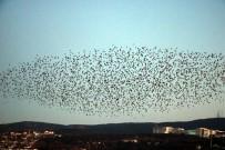 Yozgat'ta Sığırcık Kuşlarının Görsel Şöleni