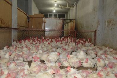 Kaçak tavuk kesimhanesine baskın