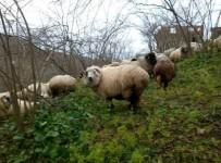 YUSUF DEMIR - Of, Artlı Ve Çepni Koyun Tiplerini, OMÜ'lü Akademisyenler Araştıracak