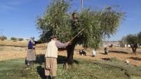 Kilis'te Zeytin Hasadı Sürüyor