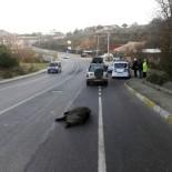 ÇAVUŞBAŞı - Yola İnen Domuza Otomobil Çarptı