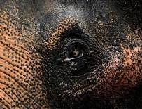 HAYVANAT BAHÇESİ - Dünyanın en yaşlı fillerinden Indra Hindistan'da öldü