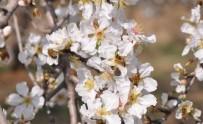 BAHAR HAVASI - Bademler Çiçek Açtı, Arılar Adeta Bayram Etti