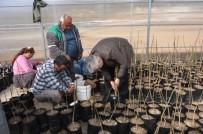 EROZYON - Mut'ta Ceviz Aşılama Çalışmaları Başladı