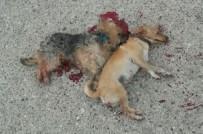 HAYVAN BARINAĞI - Kemer'de İki Köpeğin 'Kasten Ezildiği' İddiası