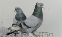 GAZILER - Güvercinleri Şehit Ve Gaziler İçin Uçuracaklar