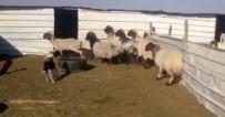 KEÇİ - İlk Kez Kuzu Gören Sürü Fena Korktu