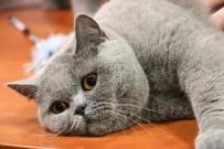 BUDAPEŞTE - Kediler Budapeşte Kedi Fuarında Yarıştı