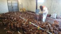 TAKVİM - Tavuk Yumurtası Üretiminde Büyük Artış