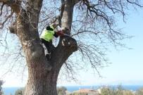 KUŞADASI BELEDİYESİ - Kuşadası'ndaki Anıt Ağaçlar Restore Ediliyor
