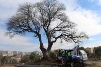 KAYALı - Başkan Kayalı, Anıt Ağaç Restorasyonunu İnceledi