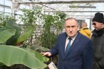 Bolu Belediyesine Ait Seralarda Tropikal Meyveler Üretiliyor