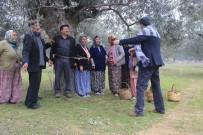 ZEYTİN YAĞI - İşçiler Kahya Ve Karısını Ağaca Bağladı