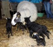 MUSTAFA AYDıN - İthal Ettiği Koyunlardan 6'Sı Beşiz Doğurdu