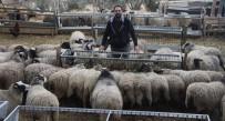 MUSTAFA AYDıN - (ÖZEL HABER) Bu Koyunlar Kuzu Fabrikası Gibi