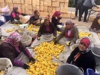 TÜRKIYE İSTATISTIK KURUMU - Mersin'de Limon Hasadı Sürüyor