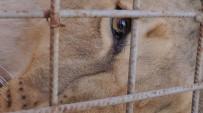 HAYVANAT BAHÇESİ - Darıca'da Doğan Türkiye'nin İlk Üçüz Aslanları Antalya'ya Gönderildi