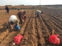 Yerli Patates Çeşitleri Farklı Bölgelerde Dikilerek Gözlemleniyor