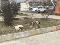 HAYVAN - Alaplı'ya Bırakılan Köpekler İçin Belediye Alarmda