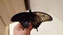 FILIPINLER - Çift Cinsiyetli Kelebek Büyük İlgi Gördü
