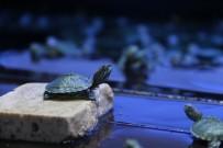 PET SHOP - Kaçak Kaplumbağalar Yeni Yuvalarına Götürüldü