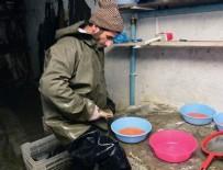 ALABALIK - Bitlis'te alabalık sağımı