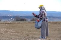 Kastamonu'da 'Beyaz Altın'ın Ekimi Başladı