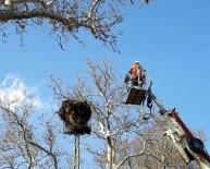 Anıt Ağaçlar Usulüne Uygun Budanıyor