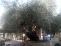 İL TARIM MÜDÜRLÜĞÜ - Bin 350 Yıldır Meyve Veren Hünkar Zeytini Asırlara Meydan Okuyor