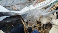 BÜYÜKBAŞ HAYVANLAR - Çöken Ahırdaki 6 Hayvan Kurtarıldı