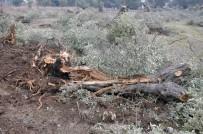 Milas'ta Zeytin Ağaçlarını Seyrelteceğiz Diyerek Telef Ettiler