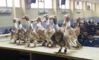 HASAN ŞAHIN - Osmaniye Güvercin Festivali'nin Kazananları Belli Oldu