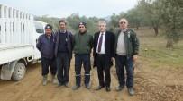 Burhaniye'de Başakçı Hırsızlar Zeytin Tarlalarına Dadandı