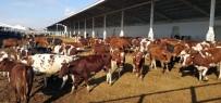 İSVEÇ - Kayseri Şeker Üstün Süt Irkı 'Avrupa Kırmızısı' Sığırları İthal Etti