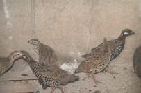 ÇEVRE VE ORMAN BAKANLıĞı - Şırnak'ta Kanat Tüyleri Kesilen 14 Turaç Kuşu Bulundu