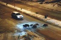 YABAN DOMUZLARI - Tunceli'de Domuzlar Karayoluna İndi