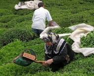 2016 Yılında 1 Milyon 299 Bin Ton Yaş Çay Üretildi
