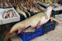 Munzur Çayı'nda 90 Kiloluk Sazan Balığı Yakaladılar
