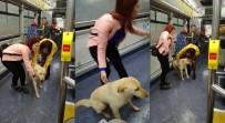 OTOBÜS ŞOFÖRÜ - Yağmurdan Kaçan Köpek Belediye Otobüsüne Sığındı