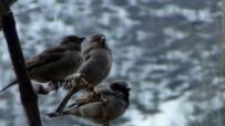 BEYTÜŞŞEBAP - Serçeler Bahar İle Birlikte Kuluçka Dönemine Girdi