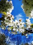 Türkiye'nin Kiraz Bahçesi Japonları Bekliyor