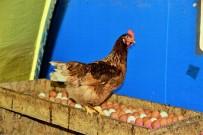 ORGANİK YUMURTA - Bir Yumurta Alamazken, 10 Bin Yumurtayı Ücretsiz Dağıttı